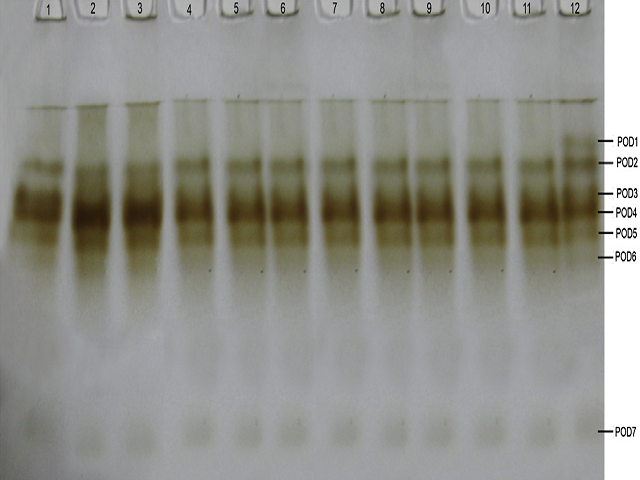 Peroxidase isoenzyme pattern in 6 days old seedlings of 12 cultivars of pigeon pea.