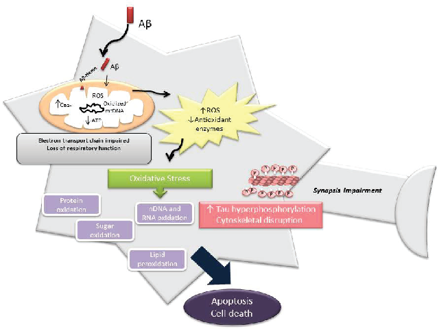 Rendition of the central role of mitochondria in ROS production in AD causing oxidative stress