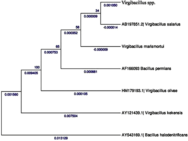 Phylogenetic tree of the strain CSD-5 associated with the margin sponge Callyspongia diffusa.