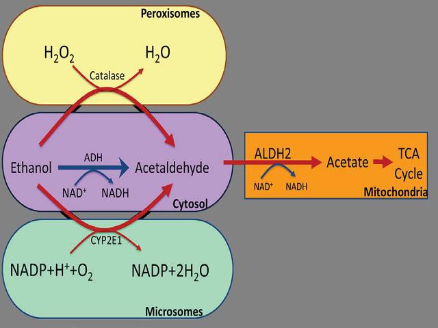 Schematic representation of oxidative metabolism of ethanol.