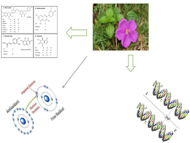 Total Phenolic, Flavonoid and Alkaloid Contents, Oxidative DNA Damage Protective and Antioxidant Properties of Methanol and Aqueous Extracts of Dissotis rotundifolia Whole Plant