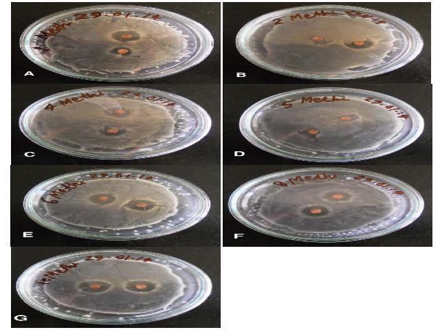 Zone of inhibition of T. foenum-graecum essential oil against (A) B. subtilis (B) S. lutea (C) X. campestris, (D) K. pneumoniae, (E) E. coli, (F) P. denitrificans and (G) P. vulgaris