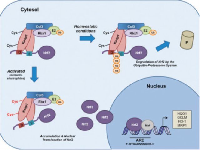 (Schematic model of the Nrf2–Keap1 signaling pathway